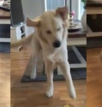 Urnebesno: Ovako izgleda kada date limun psu (VIDEO)