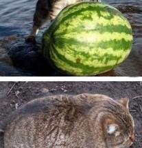 Mačka vs. lubenica – prije i poslije (POSTER)