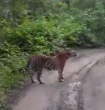 Tigar legao na cestu i uživao u glasnoj muzici (VIDEO)